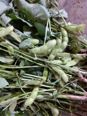 海南省海口市秀英区毛绿豆 袋装 2等品