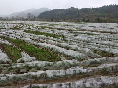 广西壮族自治区桂林市灌阳县香芋 1cm以上