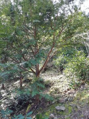 安徽省黄山市徽州区南方红豆杉 3~3.5米