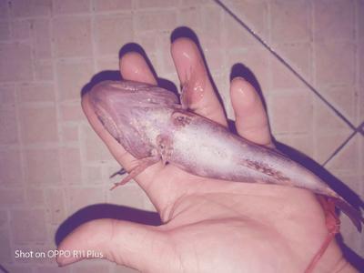 海南省海南省白沙黎族自治县笋壳鱼  0.5公斤以下 野生