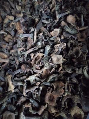 湖南省娄底市双峰县松菇  袋装 1年以上 松树菇青冈菌
