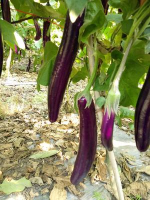 云南省西双版纳傣族自治州景洪市公牛长茄 混装通货 长茄