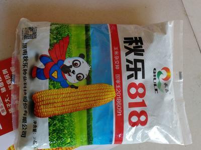河南省安阳市滑县秋乐818玉米种子 双交种 ≥99%