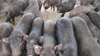 四川省乐山市井研县藏香猪  100斤以上 自己养的