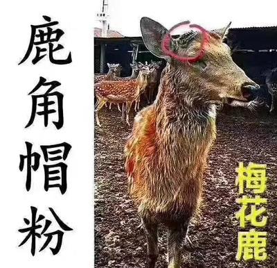 吉林省长春市双阳区鹿角  鹿脱盘
