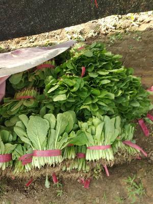 山东省泰安市岱岳区速生小白菜 20~25cm