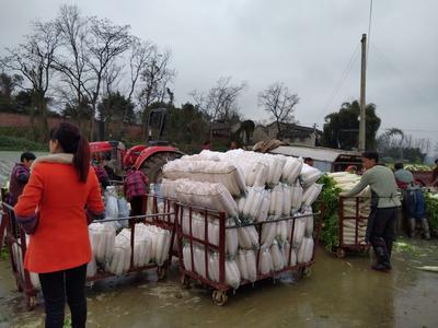 重庆潼南县白萝卜 2~2.5斤