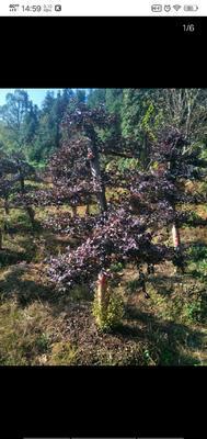 湖南省株洲市石峰区造型红继木桩