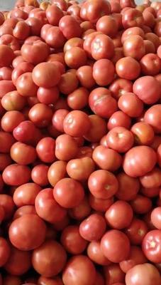 河北省秦皇岛市昌黎县硬粉番茄 通货 弧二以上 硬粉