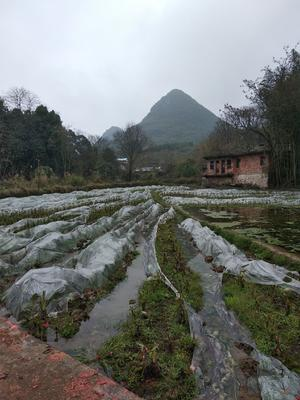 广西壮族自治区桂林市灌阳县香芋 4cm以上