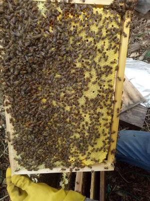 广东省阳江市阳春市中华蜜蜂
