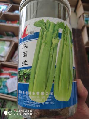 江苏省宿迁市沭阳县绿领文图拉芹菜种子 大田用种 ≥70% 盒装