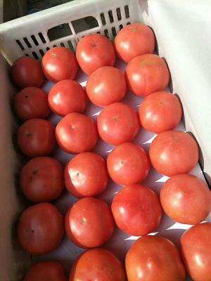 河北省邯郸市永年县硬粉番茄 精品 弧二以上 大红