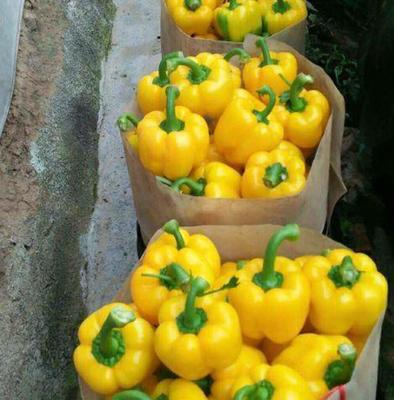 山东省潍坊市寿光市五彩椒 10~15cm 甜辣 黄色