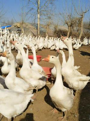 河北省保定市满城县大白鹅 8-10斤 统货 半圈养半散养