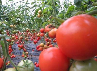 浙江省温州市苍南县大红西红柿 通货 弧二以上 大红
