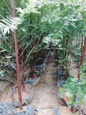 广东省深圳市南山区南方红豆杉 1.5~2米