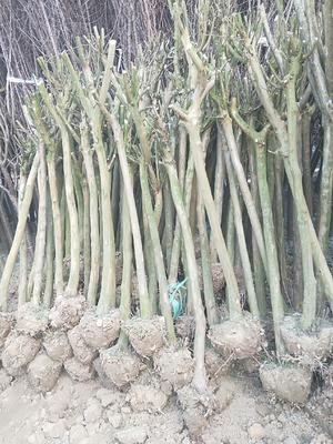江苏省常州市武进区紫薇树  3~15公分紫薇