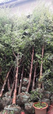 江苏省镇江市扬中市南方红豆杉 3.5米~5米