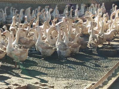 云南省红河哈尼族彝族自治州泸西县白鹅 8-10斤 公 半圈养半散养