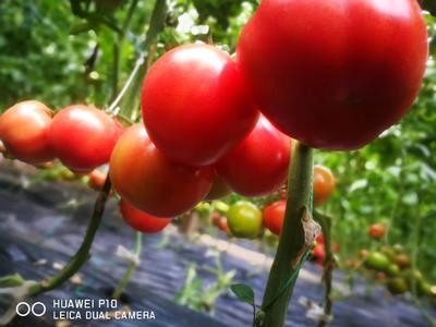 山东省烟台市海阳市普罗旺斯番茄 精品 弧三以上 大红