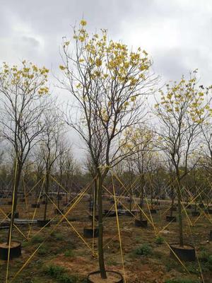 广东省广州市花都区多花黄花风铃木