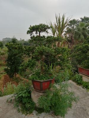 广东省广州市花都区台湾罗汉松盆景