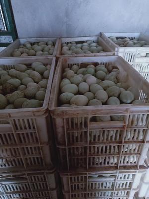 湖南省常德市安乡县绿壳鸭蛋 食用 散装