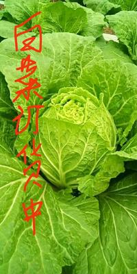 山东省潍坊市青州市菊锦大白菜 6~10斤 净菜