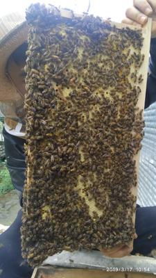 四川省成都市中华蜜蜂