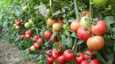 河南省安阳市安阳县硬粉番茄 精品 弧三以上 硬粉