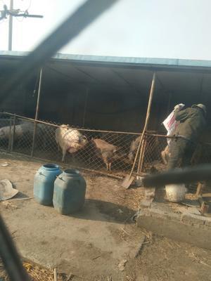 山东省东营市东营区土杂猪 统货 160-200斤