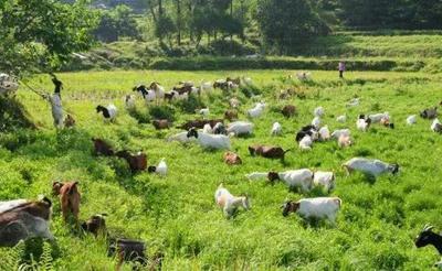 这是一张关于土羊 50-80斤 的产品图片