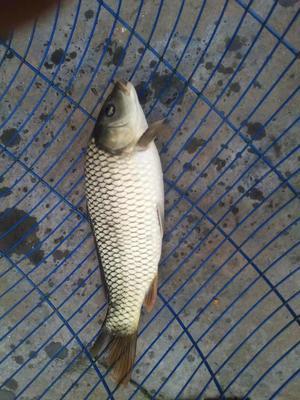 重庆永川区池塘鲤鱼 人工养殖 0.25-1公斤