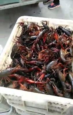 江西省九江市九江县清水小龙虾 7-9钱 人工殖养