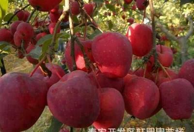 这是一张关于红肉苹果树苗 0.5~1米 的产品图片