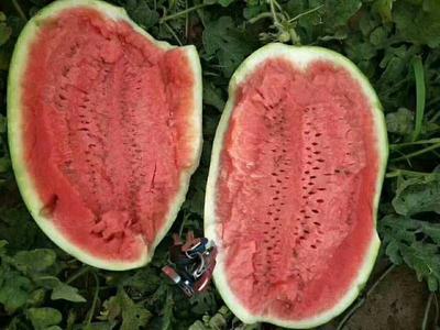 新疆维吾尔自治区吐鲁番地区鄯善县金城5号西瓜 10斤打底 8成熟 1茬 有籽