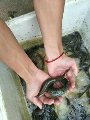江西省赣州市南康区台湾泥鳅 人工养殖 15cm以上 55尾/公斤