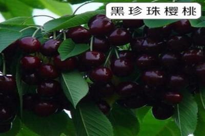 这是一张关于黑珍珠苗 的产品图片