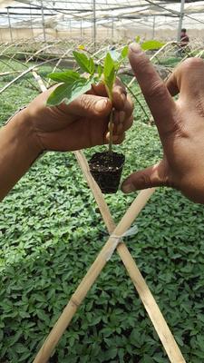 云南省红河哈尼族彝族自治州泸西县硬粉番茄 通货 弧二以上 大红