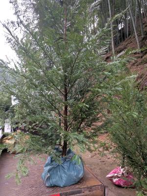 福建省三明市三元区南方红豆杉 1.5~2米