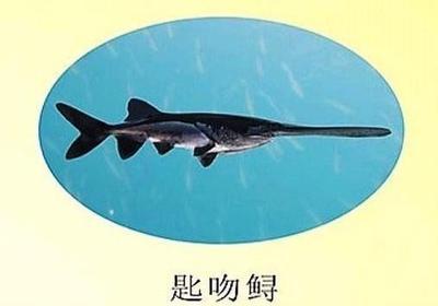 广东省佛山市南海区匙吻鲟 人工殖养 1-2公斤