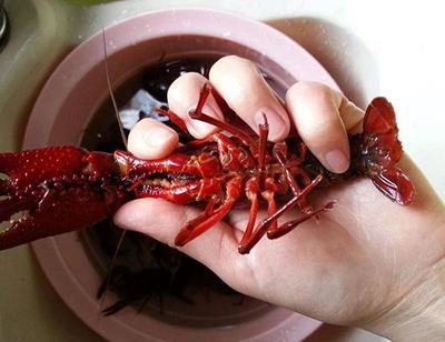 江西省九江市共青城市潜江小龙虾 4-6钱 稻田虾