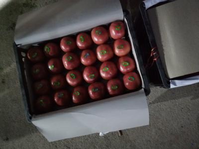 河北省石家庄市高邑县硬粉番茄 精品 弧三以上 硬粉