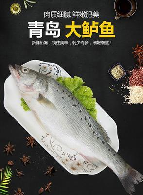 广东省潮州市湘桥区海鲈鱼 野生 1-1.5公斤