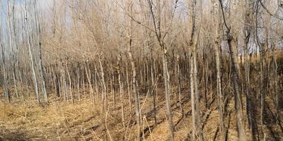 内蒙古自治区巴彦淖尔市乌拉特前旗金叶榆