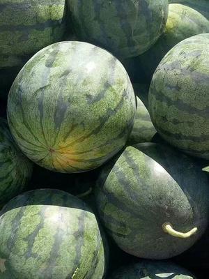 新疆维吾尔自治区吐鲁番地区吐鲁番市金城5号西瓜 10斤打底 8成熟 1茬 有籽