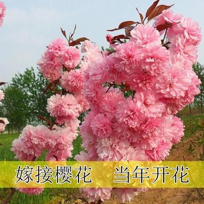 江苏省宿迁市沭阳县晚樱 0.5~1米 4公分以下