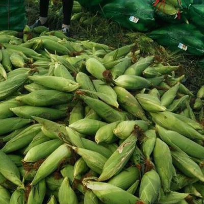 云南省昆明市东川区水果玉米 带壳 甜