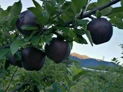 这是一张关于黑苹果树苗 0.5~1米 的产品图片